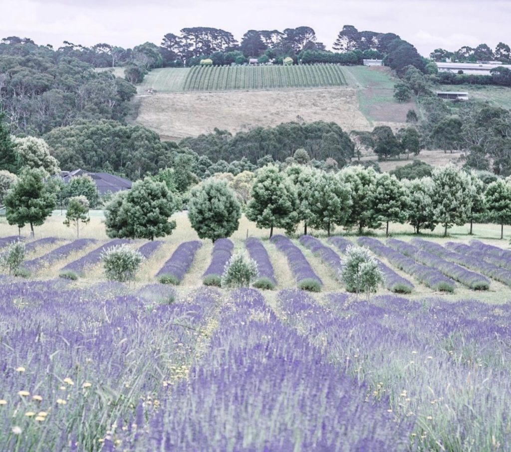 Red Hill Lavender Farm view